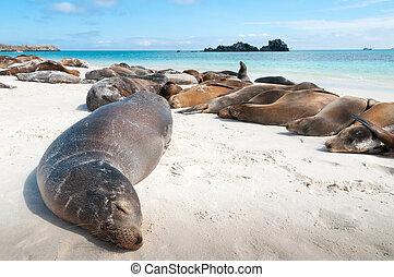 Sleeping sea lions Galapagos - Espanola Island Galapagos...