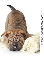 Sleeping Sharpei Puppy - Chinese sharpei puppy sleeping...