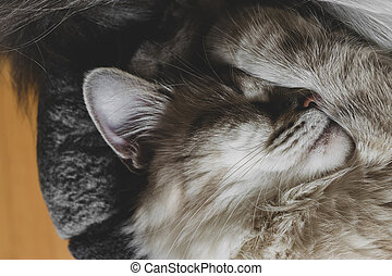 Sleeping Siberian Neva Masquerade cat