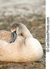 sleeping signet - sleeping swan signet on a stoney riverbank