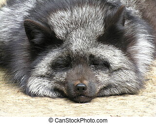Sleeping Silver Fox - A sleeping silver fox, taken at a...