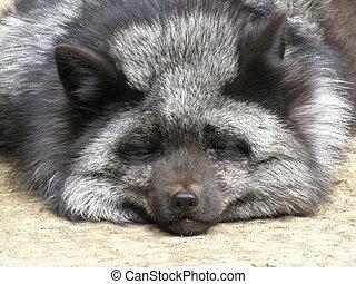 Sleeping Silver Fox - A sleeping silver fox, taken at a...