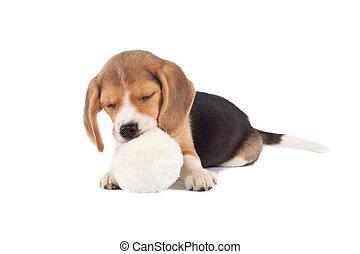 sleeping small beagle