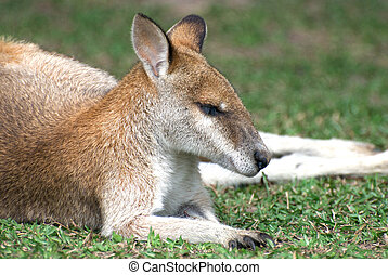Sleeping small cute red kangaroo in Australia