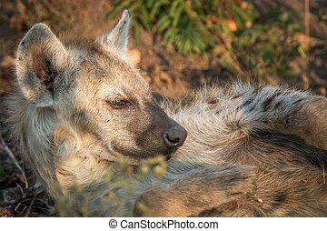 Sleeping Spotted hyena in the Kruger National Park, South Africa.