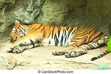 Sleeping tiger in the zoo