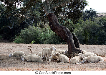 sleeping under a tree - View of several sheep sleeping under...
