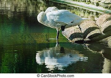 Sleeping White Swan - White Swan is Sleeping Standing on One...