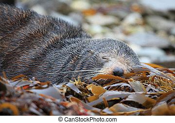 sleeping wild seal - wild seal sleeping at Seal colony...