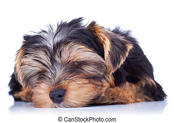 Sleeping yorkshire puppy