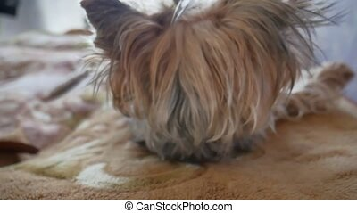 Sleeping Yorkshire Terrier puppy wakes. Cute little dog...