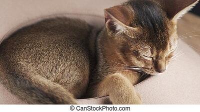sleepy abyssinian kitten in beige hat, 4k prores footage