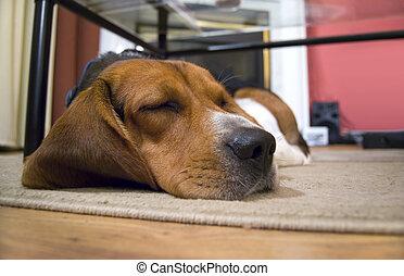 Sleepy Beagle Dog