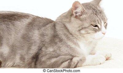 Sleepy Cat - Sleepy cat lying on a white background.