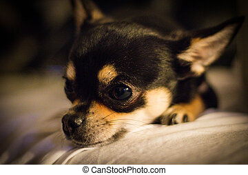 Sleepy Chihuahua - Chihuahua resting its head