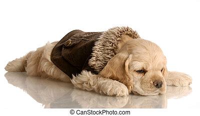 sleepy cocker spaniel puppy