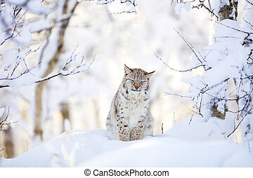 Sleepy cute lynx cub in the cold winter forest