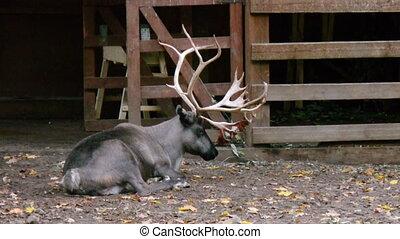 Sleepy deer - Sleepy reindeer in volary
