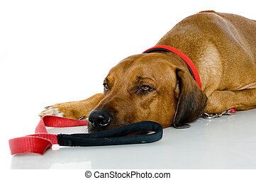 Sleepy Dog - A big sleepy dog lying down on studio floor ...