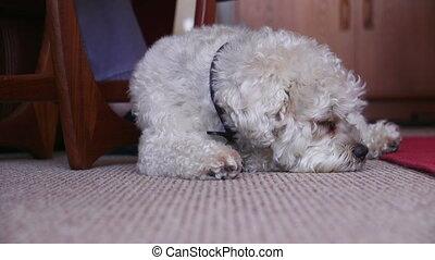 Sleepy Dog at Home - Shih Tzu breed dog sleeping on the...