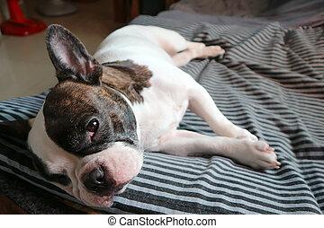 sleepy dog or french bulldog