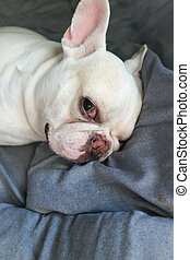 sleepy french bulldog in the bed