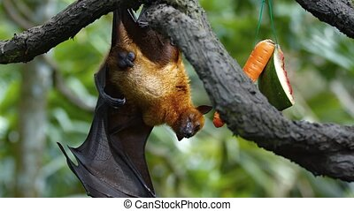 Sleepy fruit bat hangs lazily from a tree branch during the day, in his habitat enclosure at a popular public. UltraHD 4k footage
