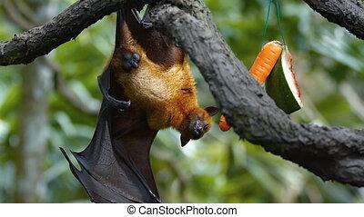 Sleepy Fruit Bat Hangs from a Branch at the Zoo - Sleepy...