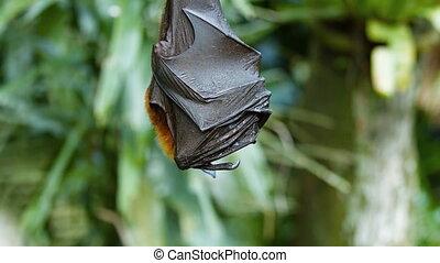 Sleepy Fruit Bat Peeks Out from Wings at the Zoo - Sleepy...