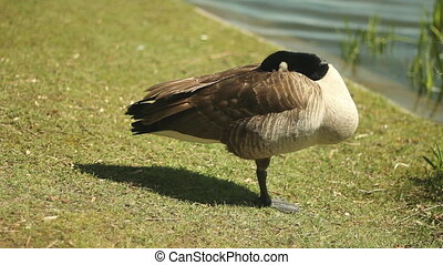 A Canada goose stands on one leg and takes a nap. Shallow DOF. High Park, Toronto, Ontario, Canada.