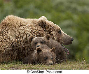 Grizzly bear Mom yawns while her two first year cubs doze closeby.