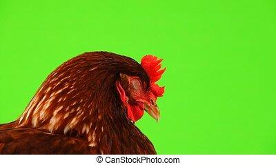 sleepy hen  isolated on green screen
