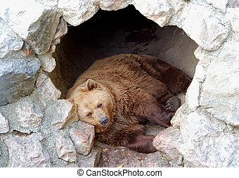 Brown bear sleeping in his cave.