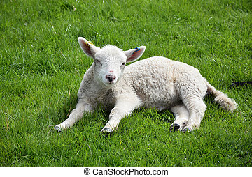 Sleepy Lamb in a Grass Field in the Springtime