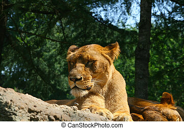 Sleepy lion 2