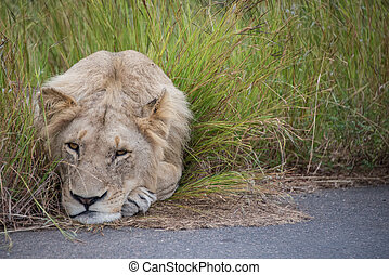 A young male lion being quite lazy.