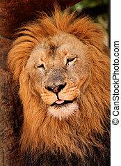 Sleepy Lion Dozing Off