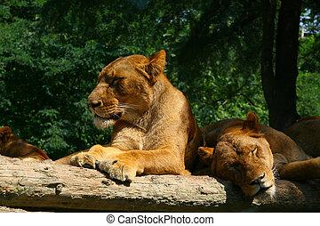 Sleepy lion