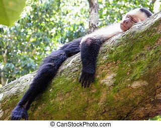 Sleepy Monkey - Monkey on tree in Costa Rica