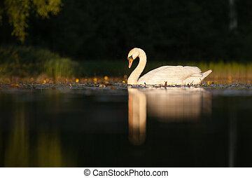 Sleepy mute swan on lake in summer