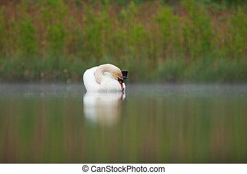 Sleepy mute swan on lake