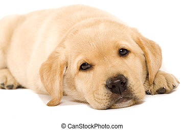 sleepy Puppy Labrador