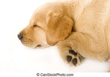 sleepy Puppy Labrador retriever cream