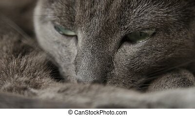 Sleepy Russian Blue Cat, Close Up, Hand Held Camera.
