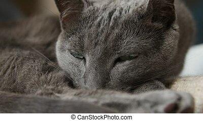 Sleepy Russian Blue Cat, Close Up, Hand Held Camera. -...
