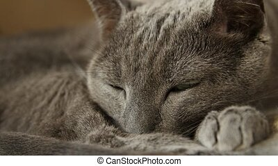 Sleepy Russian Blue Cat, Close Up, Hand Held Camera. -...