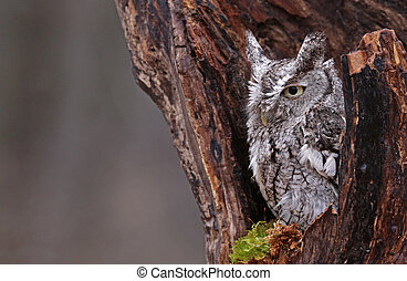 Sleepy Screech Owl (Megascops asio) - A close-up of an...