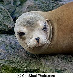 Sleepy Sea Lion - Lazy sea lion sleeping and wallowing on a...