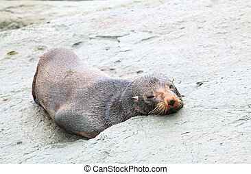 sleepy seal - sleeping wild seal sea lion on rocky coast