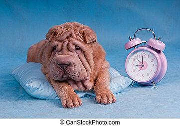 Sleepy Shar-Pei with Alarm Clock - Sleepy Shar-Pei lying on...